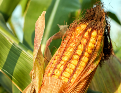 Assessing an Innovative System to Collect Maize Cob